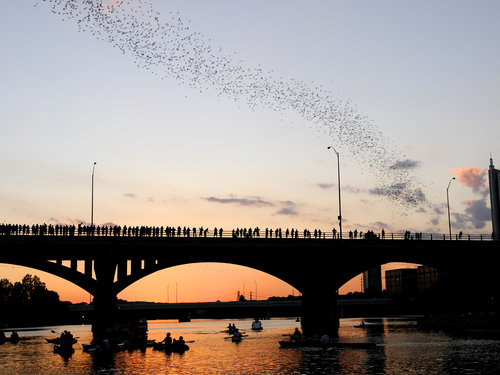 South Congress Bridge Bat